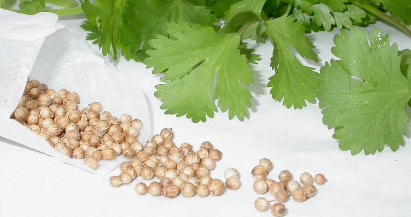 Польза семян кориандра